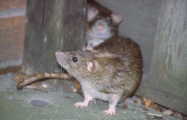 rodent/rat control in Leicester