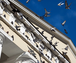 pigeons, birds on building
