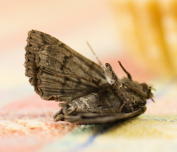 moth control Leicester