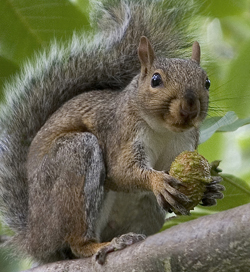 Grey Squirrel control Leicester